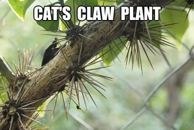 cat's claw plant