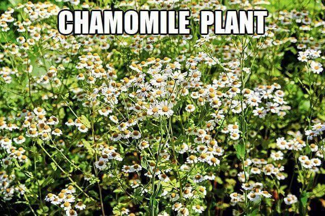 chamomile tea plant