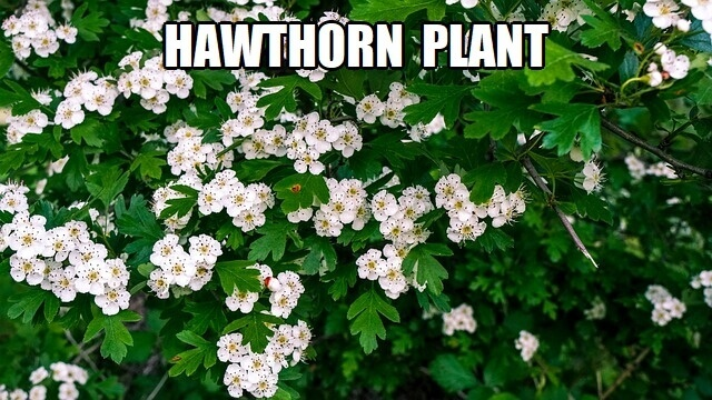 hawthorn plant for tea
