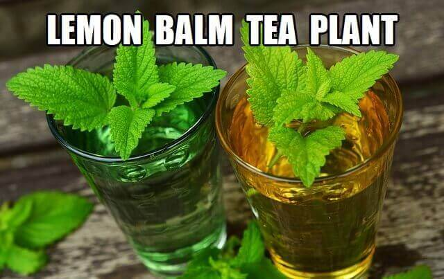 lemon balm tea plant